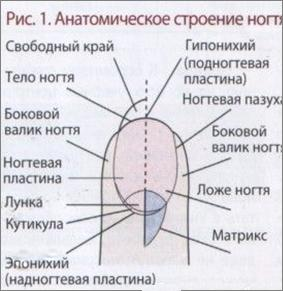 anatomicheskoe-stroenie-nogtja-280x288